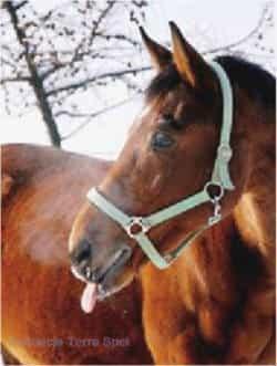 nasze konie - Pandur