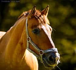 nasze konie - Mirek